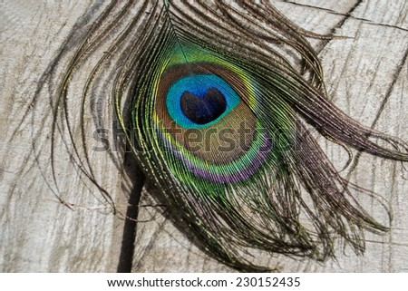 peacock, peacock feather, bird, green, purple, blue, yellow, diversity, colorful feathers, feathers, feather, ornamental feathers, ornamental bird, rare, protected, animal, bird - stock photo
