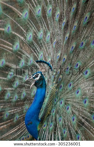 Peacock/Peacock/Ranthambhore - stock photo