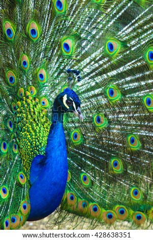 peacock. peafowl.  Beautiful spread of a peacock. beautiful peacock bird. A beautiful male peacock with expanded feathers. - stock photo