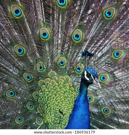 Peacock portrait - stock photo