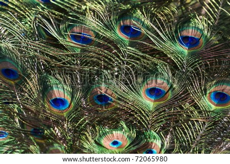 peacock quill for detail - stock photo