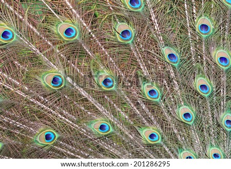 Peacock's feathers - stock photo