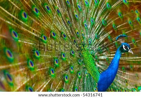 Peacock Show - stock photo
