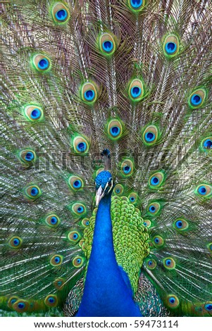 Peacock showing its beautiful, colorful tail in full spread - stock photo
