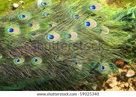 peacock turkey closed tail colorful green background high view - stock photo