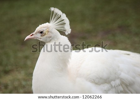 peacock white bird feather crone nature peahen