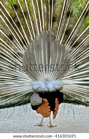 Peacock who makes the wheel, of back - stock photo