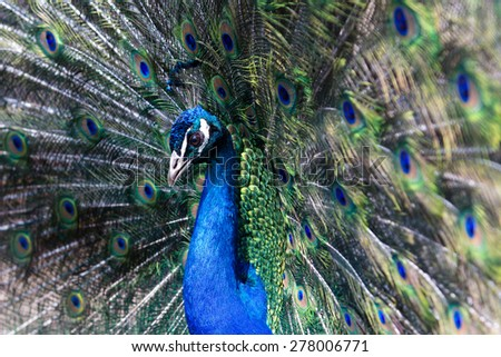 peacock with an open tail - stock photo