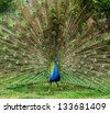 Peacock with beautiful feathers outdoors - stock photo