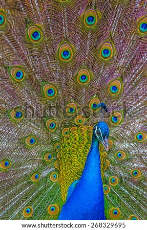 peacock with feathers out - stock photo
