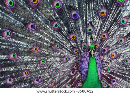 Peacock with his tail feathers on display to attract a mate in unreal beautiful colors. - stock photo