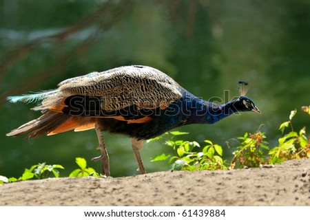 Peafowl - stock photo