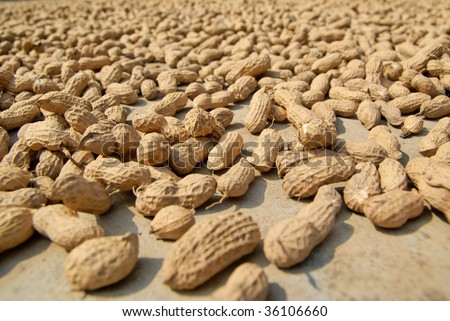 peanuts drying under the sun - stock photo