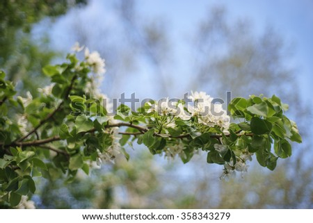 Pear blossom with shallow depth of field, beautiful bokeh - stock photo