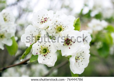 Pear Flower - stock photo