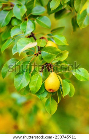 Pear hanging on a branch (shallow dof) - stock photo