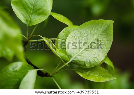 Pear leaves with raindrops - stock photo
