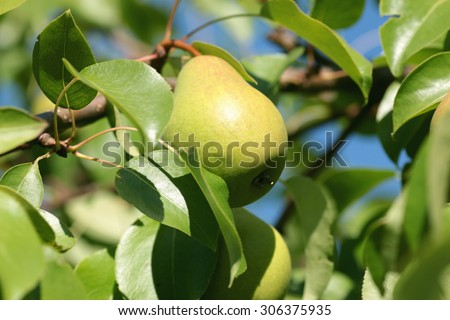 pear on a tree close-up