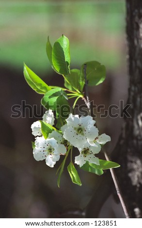 Pear-tree blooming - stock photo