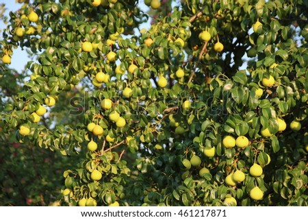 Pear tree with ripe cultivar organic pears in the summer garden