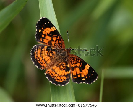 Pearl Crescent butterfly - stock photo