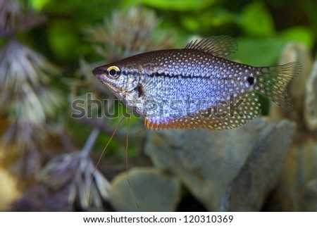 Pearl Gourami (Trichogaster leeri) in an aquarium - stock photo