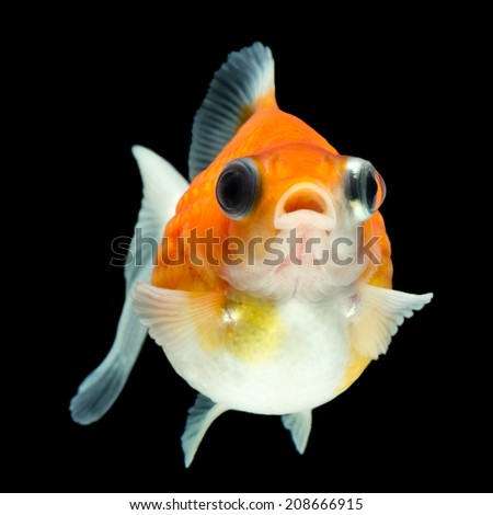 PEARL SCALE GOLDFISH ISOLATED ON BLACK, HIGH QUALITY STUDIO SHOT MANUALLY REMOVED FROM BACKGROUND SO THE FINNAGE IS COMPLETE
