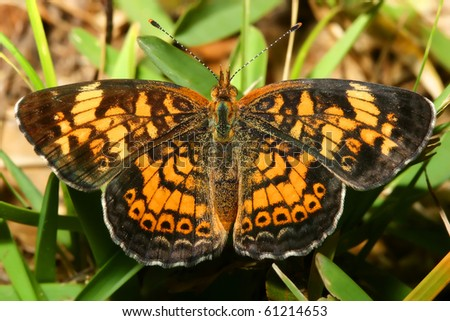 Pearly Crescent Spot Butterfly - stock photo