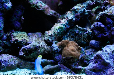 Pearly Jaw fish in a Reef Aquarium - stock photo