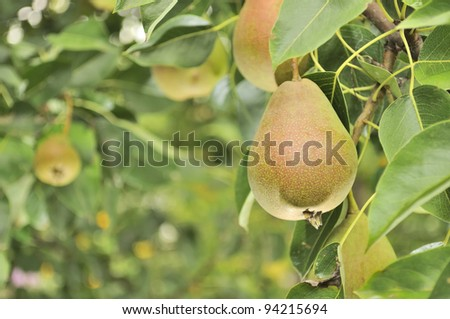 Pears Growing on Pear Tree - stock photo