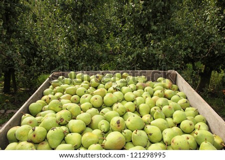 Pears in crate and empty fruit trees in the background