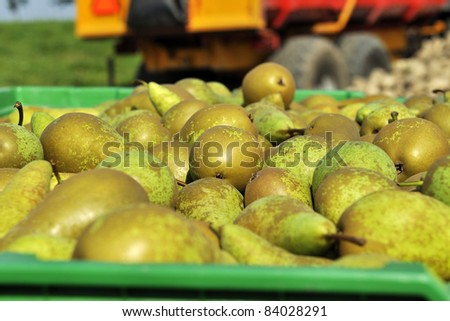 pears in green crate on harvest day - stock photo