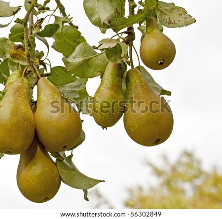 Pears on a tree - stock photo