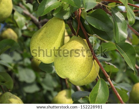 Pears on a tree branch in orchard - stock photo