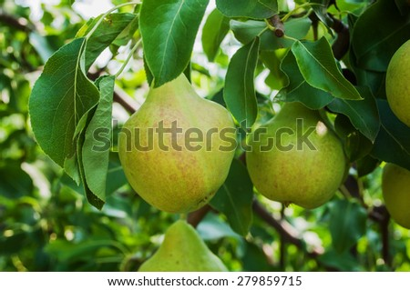 Pears on branch. Pears - orchard - stock photo