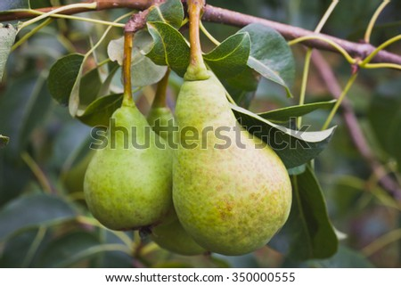 Pears on the branch - stock photo