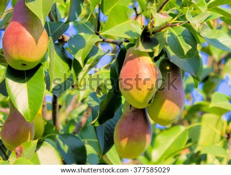 Pears On Tree Branch. - stock photo
