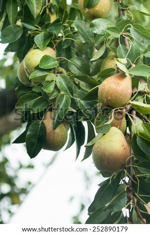 Pears on tree with raindrops; Shallow depth of field; - stock photo