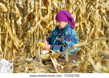 peasant woman harvests corncobs in the field - stock photo