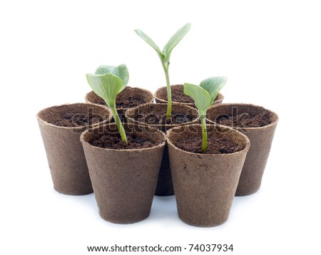 Peat pots with pumpkin sprouts shot over white background - stock photo
