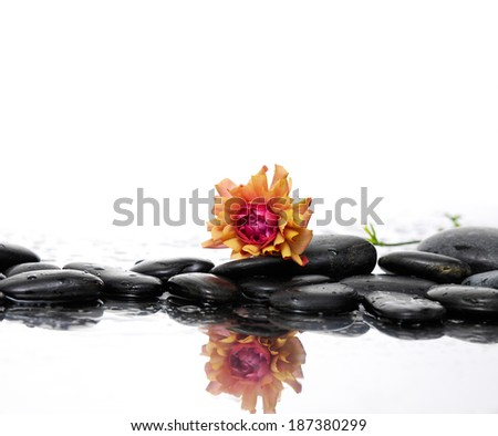pebbles and ranunculus flower with reflection