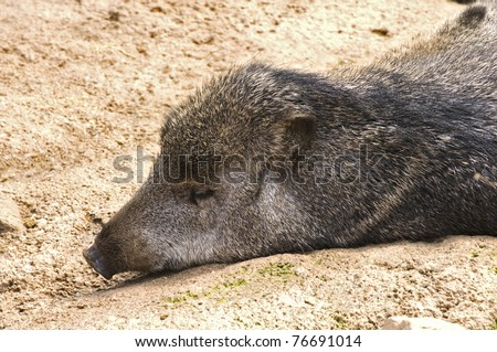 Pecari tajacu or Peccary animal resting on stomach on bare ground