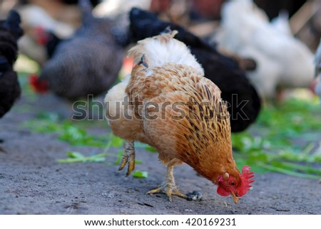 Pecking chicken on poultry-yard - stock photo