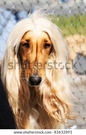 Pedigree Afghan borzoi dog outdoor portrait on blurry background
