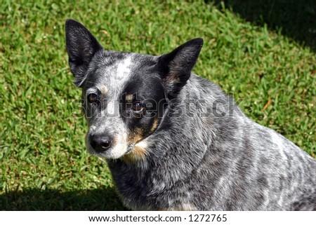 Blue Heeler Stock Photo 1209318 Shutterstock