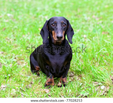 Pedigree dachshund on the green grass