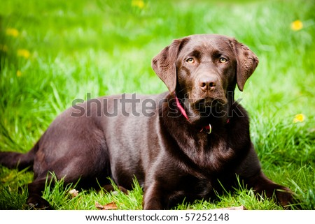 Pedigree dark labrador on fresh green grass.