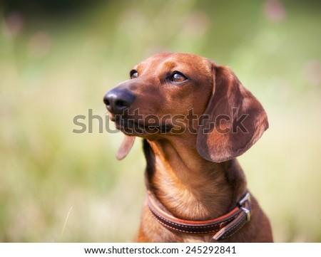Такса добрая собака