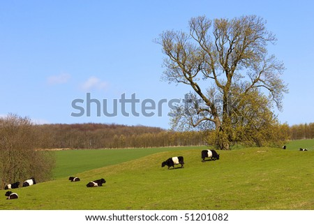 pedigree dutch belted cattle in a springtime english landscape with blue sky and woods and a beautiful horse chestnut tree