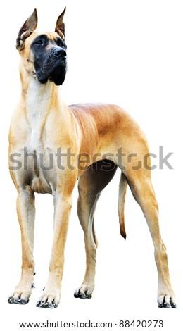 Pedigree Great Dane Dog over the white background - stock photo